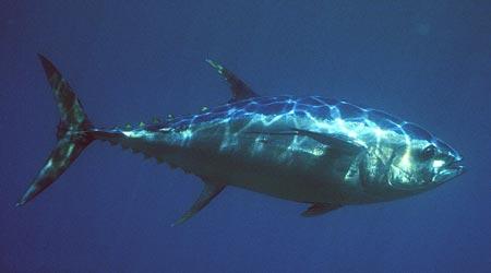 Pescare in mare il tonno come e dove pescare i tonni tecnica esche consigli - Marinare il tonno prima di cucinarlo ...